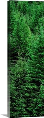 Canada, British Columbia, Vancouver Island, Temperate Rainforest