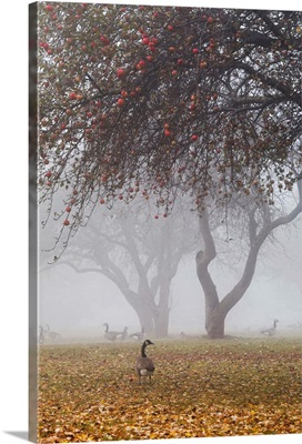 Canada geese sheltering under apple trees on a misty autumn morning, Ontario, Canada