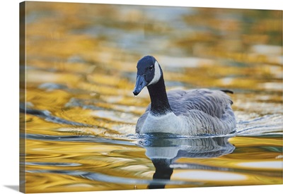 Canada Goose (Branta Canadensis) Swimming In A Lake, Bavaria, Germany