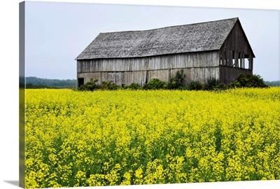 Canola Field And Old Barn, Bas-Saint-Laurent Region, Sainte-Helene, Quebec