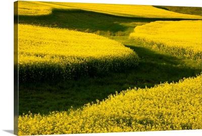 Canola Field, Darlington, Prince Edward Island, Canada