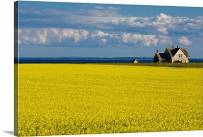 Canola Field, Guernsey Cove, Prince Edward Island, Canada