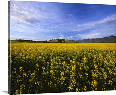 Canola field in bloom in the morning light of Montana's Mission Valley, Polson, Montana
