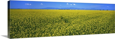 Canola field in bloom, South Central Colorado