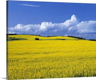 Canola field in full bloom, near Holland, Manitoba, Canada