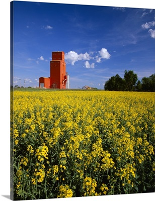 Canola field in full bloom with a red grain elevator
