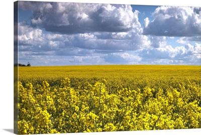 Canola Field, North Yorkshire, England