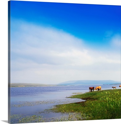 Carrowmore Lake, Co Mayo, Ireland; Cattle At The Edge Of A Lake