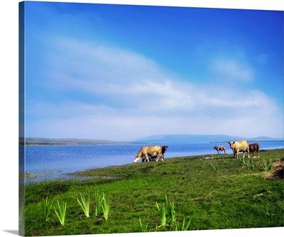 Carrowmore Lake, County Mayo, Ireland, Cattle