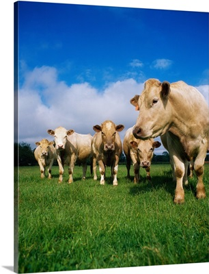 Cattle, Charolais