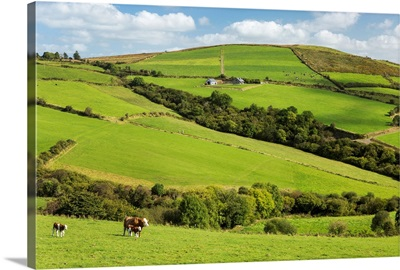 Cattle grazing on lush green hilly pastures with trees separating fields, Ireland