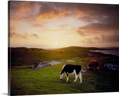 Cattle, Mannin Bay, County Galway, Ireland