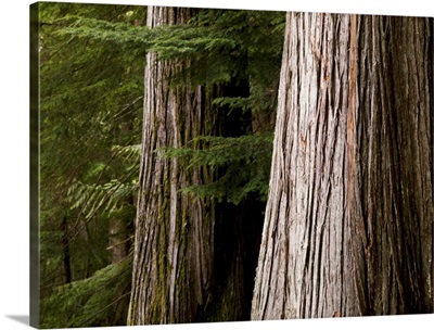 Cedar Trees, Whistler, British Columbia