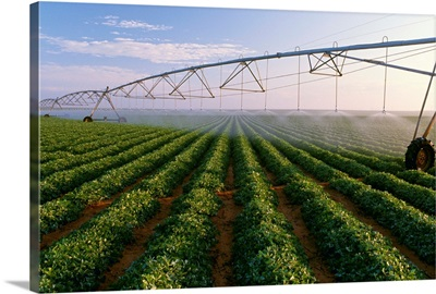 Center pivot irrigation on a mid growth peanut field, West Texas