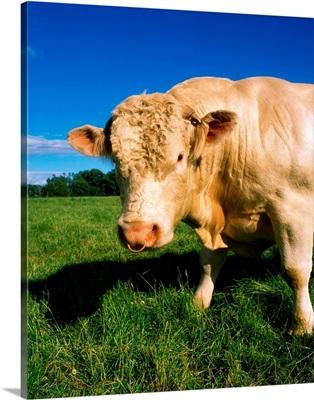 Charolais Bull, Ireland