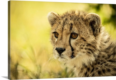 Cheetah Cub, Cottar's 1920s Safari Camp, Maasai Mara National Reserve, Kenya