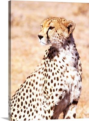 Cheetah In Maasai Mara Game Reserve