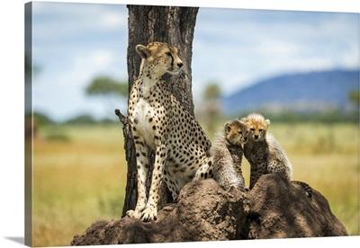 Cheetah Sits On Termite Mound By Cubs, Serengeti National Park, Tanzania
