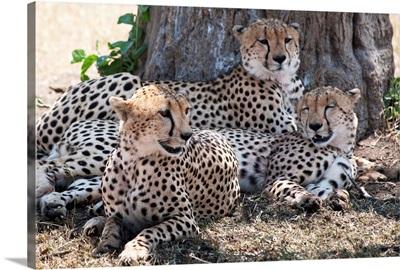 Cheetahs, Kenya, Africa