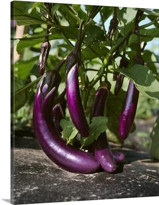 Chinese eggplants on the bush, Florida