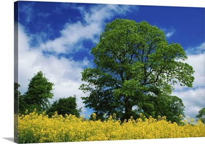 Clonmel, County Tipperary, Ireland; Field Of Rapeseed