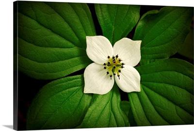 Close up Dwarf Dogwood flower in full bloom, Alaska