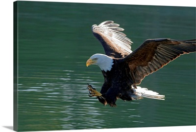 Close up of a Bald Eagle catching a fish out of the Inside Passage waters