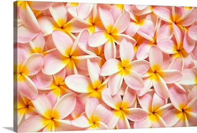 Close-Up Of A Bed Of Light Pink Plumeria Flowers, Water Drops