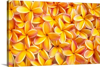 Close-Up Of A Bed Of Yellow Plumeria Flowers, Pink Tips, Water Droplets