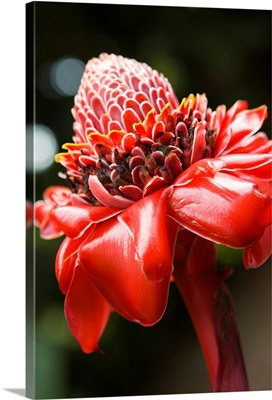 Close-Up Of A Bright Red Torch Ginger Flower