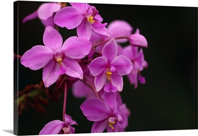 Close-Up Of A Cluster Of Bright Pink Orchids