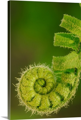 Close up of a fern opening a new leaf in springtime, Ohio