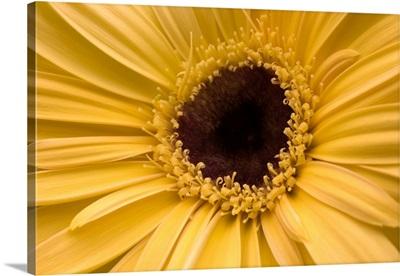 Close Up of a Gerbera Daisy