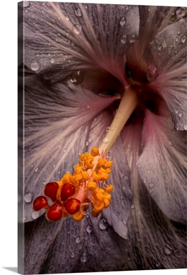 Close up of a Hibiscus flower with water droplets; Hawaii