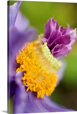 Close up of a Himalayan poppy growing in Anchorage. Summer in Southcentral Alaska