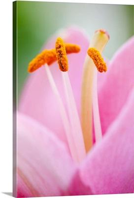 Close up of a lily, Quebec, Canada