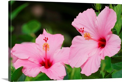 Close-Up Of A Pair Of Pink Hibiscus