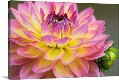 Close up of a pink and yellow dahlia