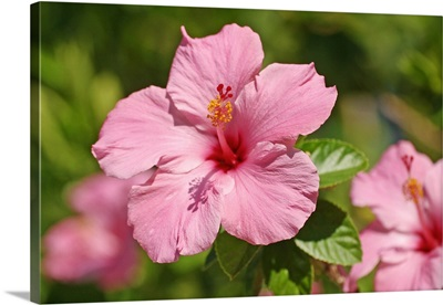 Close-Up Of A Pink Hibiscus
