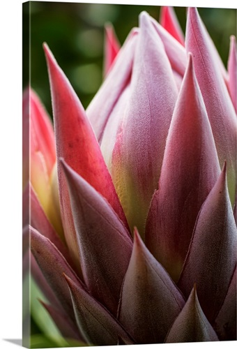 Close up of a pink tropical flower hawaii wall art canvas prints close up of a pink tropical flower hawaii mightylinksfo Images