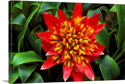 Close-Up Of A Single Red Bromeliad Blooming With Yellow Center
