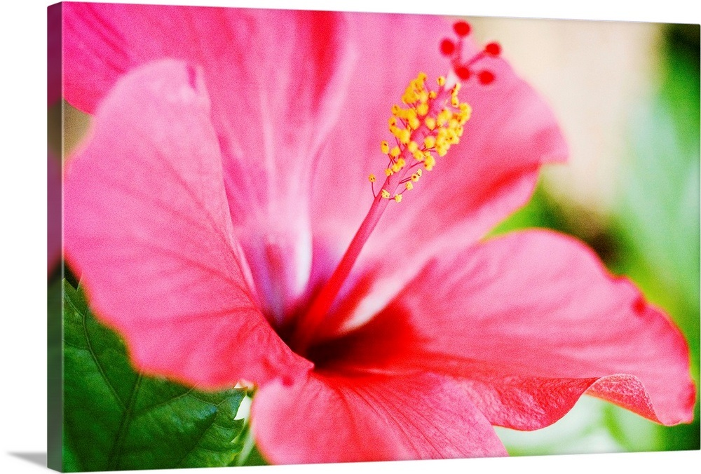 Close Up Of Beautiful Bright Pink Hibiscus With Blue And Green