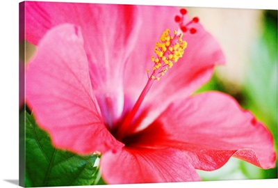 Close-Up Of Beautiful Bright Pink Hibiscus With Blue And Green Background