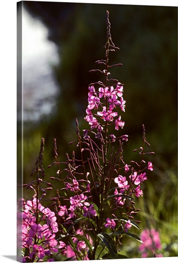 Close up of bright pink fireweed