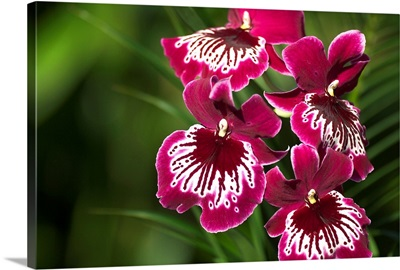 Close-Up Of Bright Purple And White Orchid