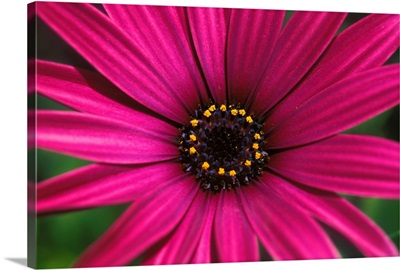 Close-Up Of Bright Purple Daisy With Yellow In Center