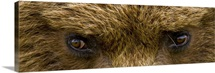 Close up of Brown bears eyes in Hallo Bay Katmai National Park Southwest Alaska
