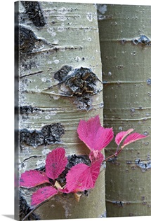 Close up of Cranberry leaves against the bark of an Aspen tree