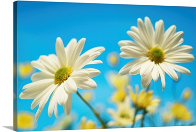 Close-Up Of Daisies Against A Blue Background