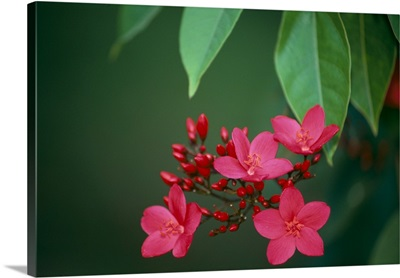 Close-Up Of Deep Dark Pink Blossoms On Tree, Leaves